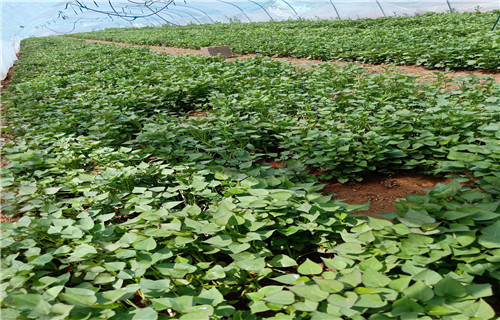 吉林紫薯种子源头厂家
