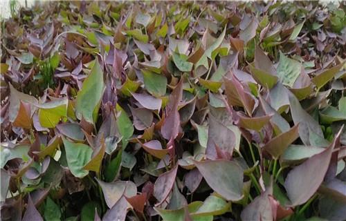 吉林紫薯种子多少钱一棵