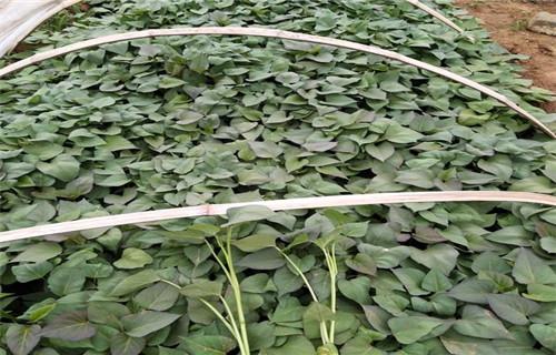 吉林脱毒紫薯苗多少钱一棵
