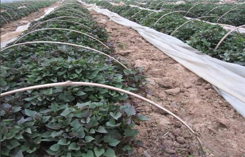 吉林紫红薯苗种植厂家