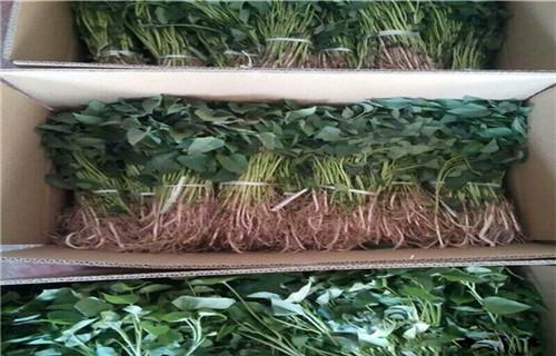 江西紫甘薯苗种植基地