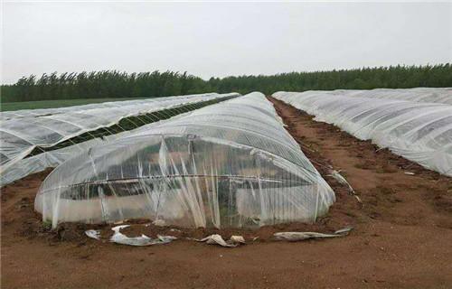 江西紫地瓜苗子厂家价格是多少